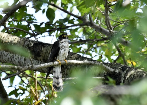 ジュウイチ幼鳥2860