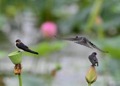 ツバメ幼鳥7488
