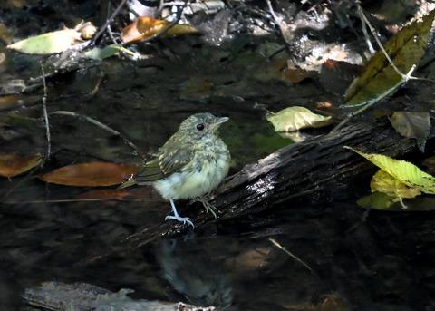 キビタキ幼鳥3469