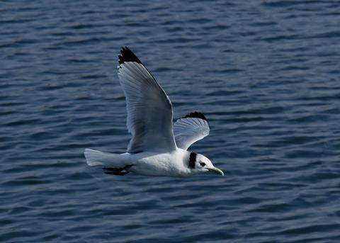 ミツユビカモメ成鳥5601