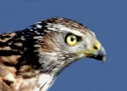オオタカ若鳥0502(733)