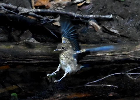 オオルリ幼鳥②6629