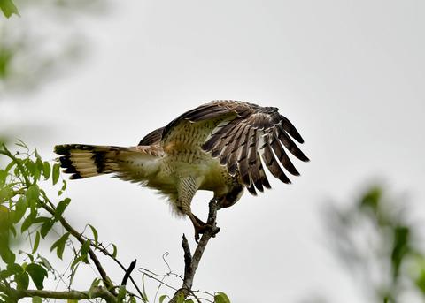 カンムリワシ若鳥6537