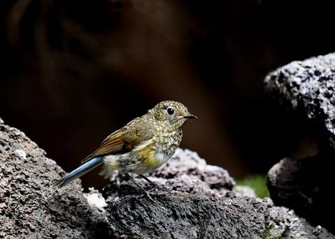 ルリビタキ幼鳥7696