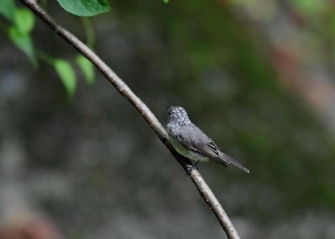 コサメビタキ幼鳥0245