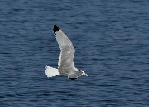 ミツユビカモメ成鳥5363