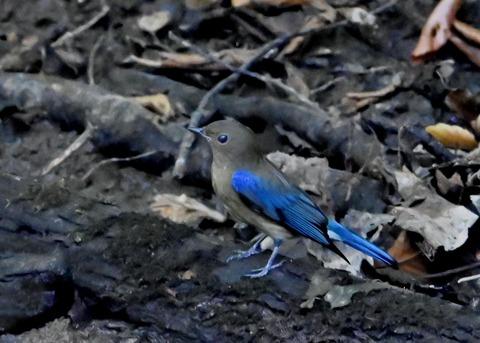 オオルリ幼鳥①6420