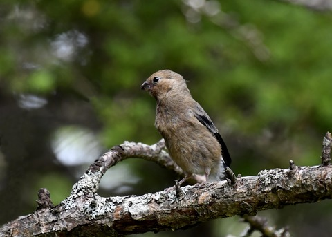 ウソ幼鳥8400