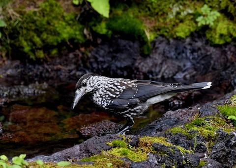 ホシガラス幼鳥3221