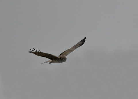 マダラチュウ若♀4543