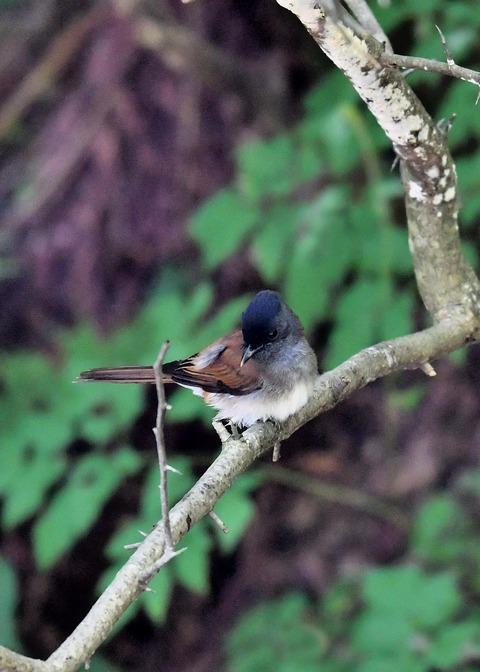 サンコウチョウ幼鳥9413