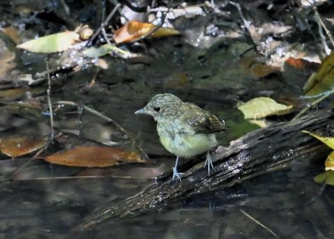 キビタキ幼鳥3406
