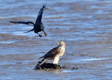 オオタカ若鳥0667