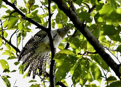 ツツドリ幼鳥5680