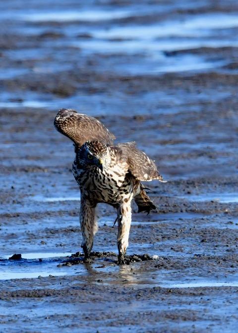 オオタカ若鳥0831