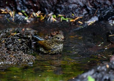 ルリビタキ幼鳥3067