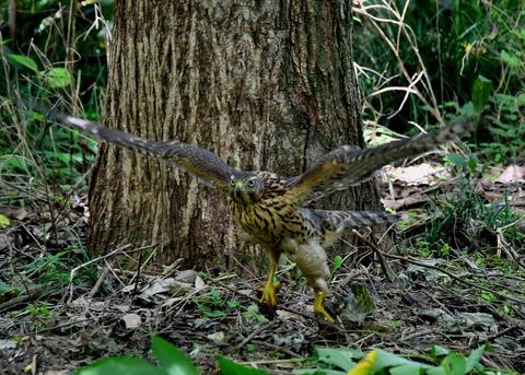 オオタカ幼鳥3547