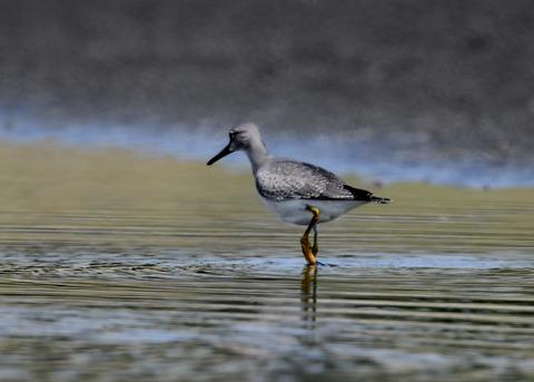 キアシシギ幼鳥9129