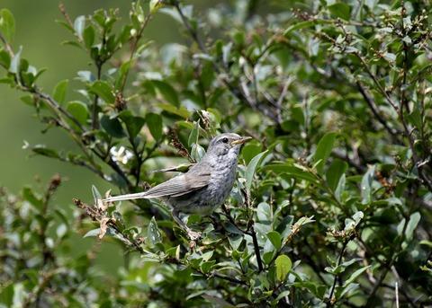 ウグイス幼鳥2491