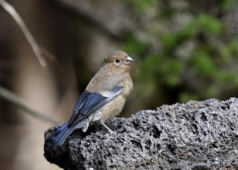 ウソ幼鳥8581