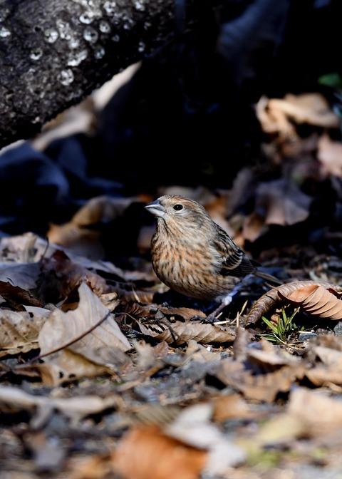 オオマシコ若鳥8907