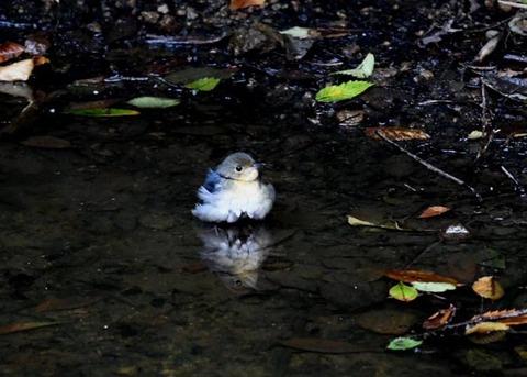 コルリ♂幼鳥7334