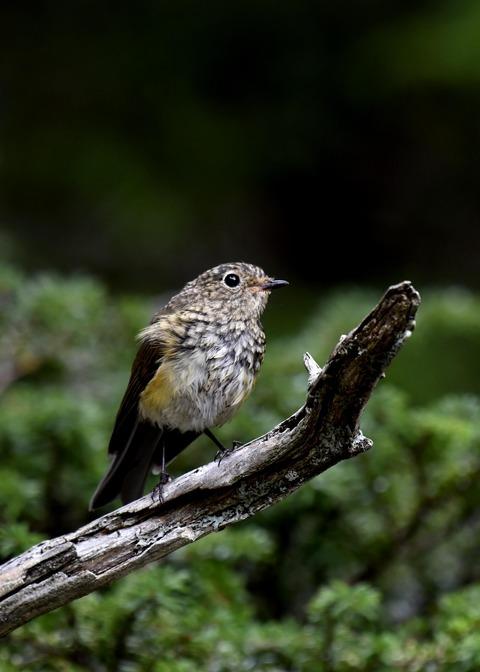 ルリビタキ幼鳥0627