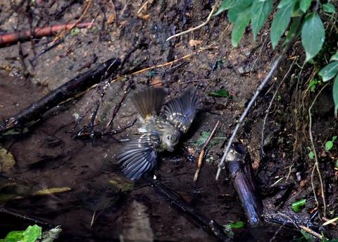 キビタキ幼鳥3838