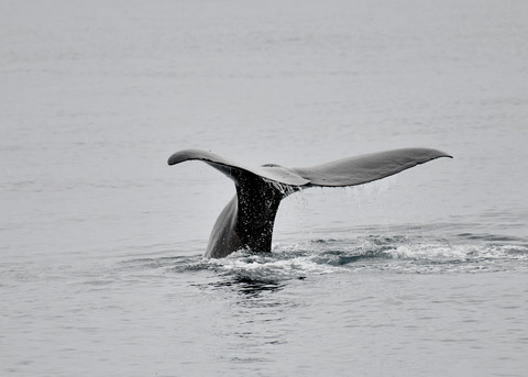 マッコウクジラ0542