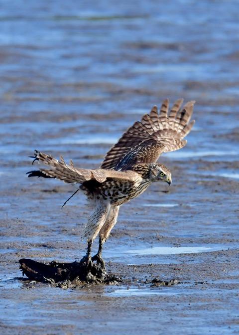 オオタカ若鳥0789