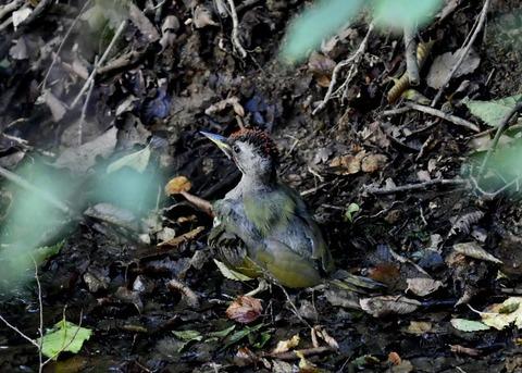 アオゲラ幼鳥♂8603