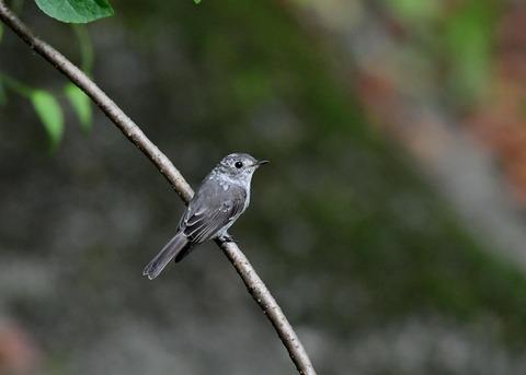 コサメビタキ幼鳥0270