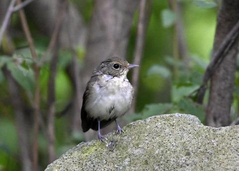 キビタキ♀幼鳥1068