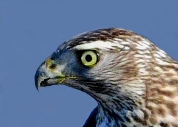オオタカ若鳥0700(766)