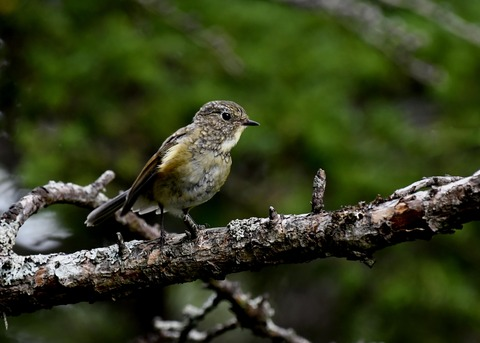 ルリビタキ幼鳥8737