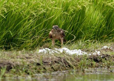 オオタカ若鳥2859