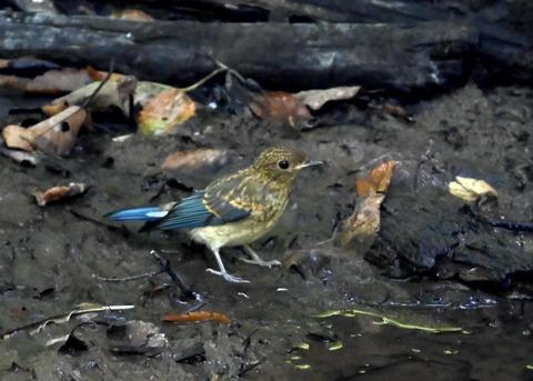 オオルリ♂幼鳥4289