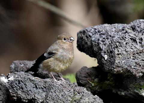 ウソ幼鳥8562