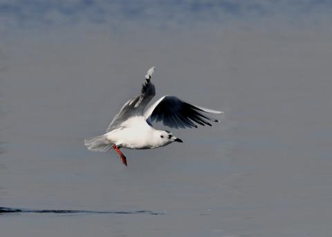 ズグロカモメ冬羽5109
