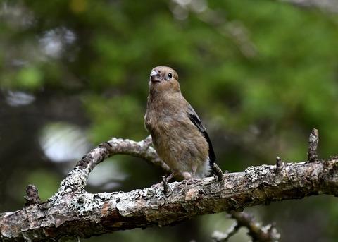 ウソ幼鳥8386