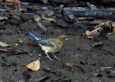 オオルリ♂幼鳥4281