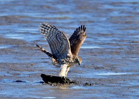 オオタカ若鳥0645