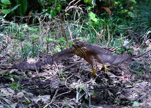 オオタカ幼鳥3541