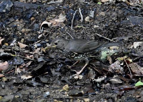 クロツグミ幼鳥5898