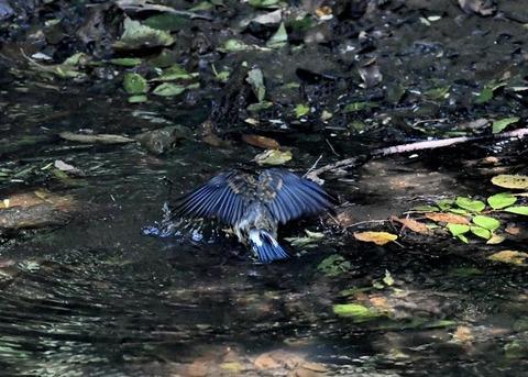 オオルリ幼鳥♂8080-01