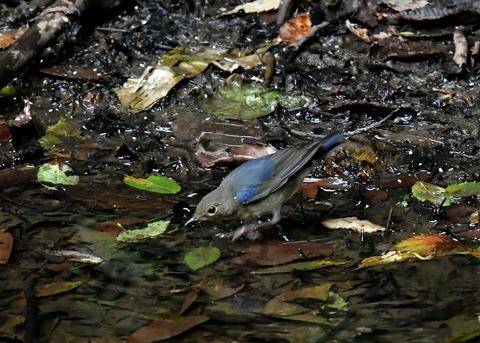 コルリ♂幼鳥4061