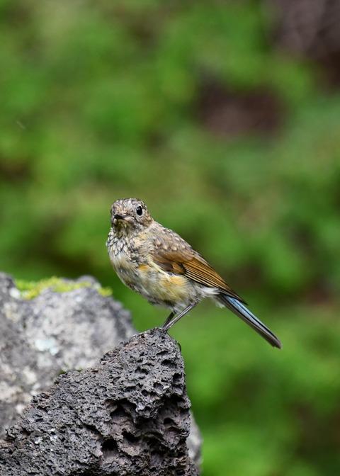 ルリビタキ幼鳥3361