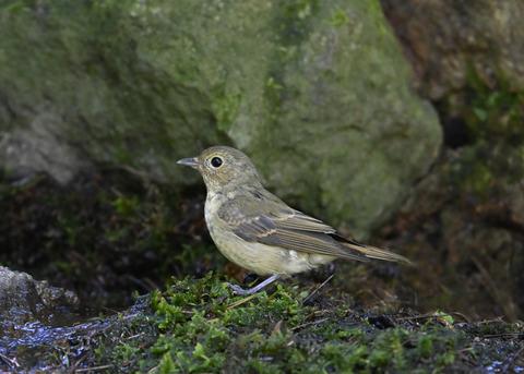 キビタキ♀幼鳥1341