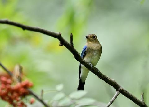 オオルリ♂若鳥0536