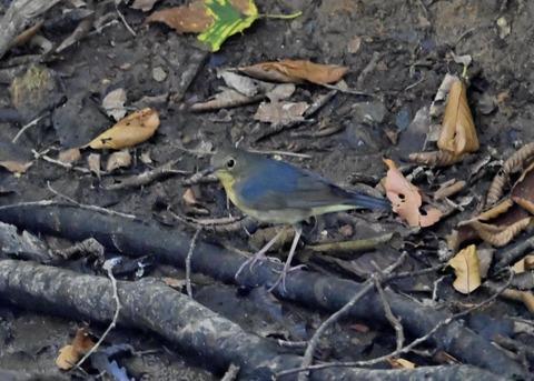 コルリ♂幼鳥2570